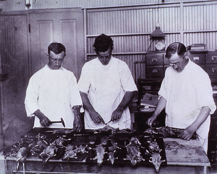 746px-Examining_Rats_for_Bubonic_Plague_New_Olreans_1914_a024245