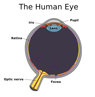 An image of the human eye, showing the location of the lens, where clumps of proteins can form to cause cataracts. (Credits: Johannes Ahlmann, Creative Commons)