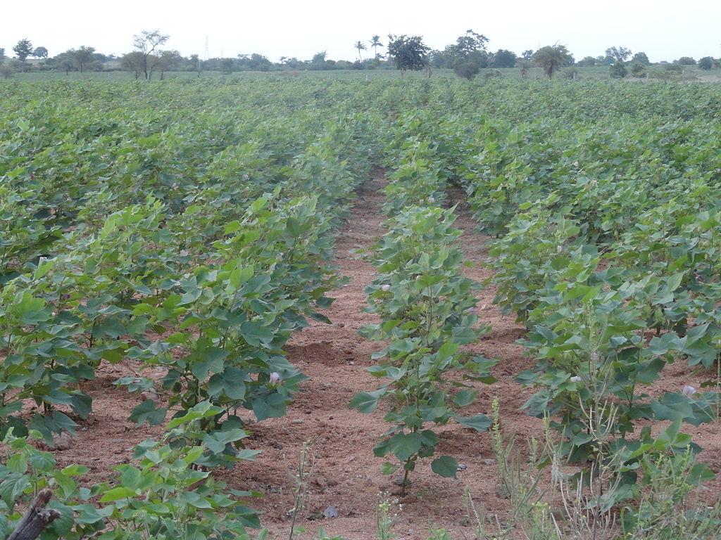 1024px-Cotton_crop_2