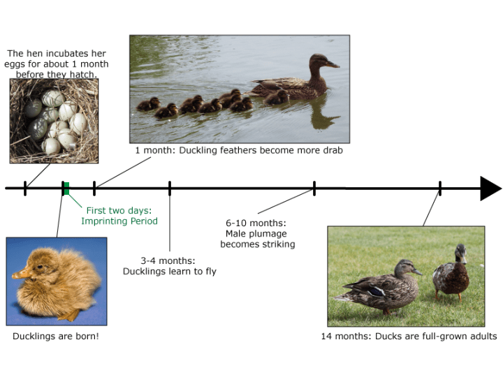 Figure 1: Timeline of duckling development.