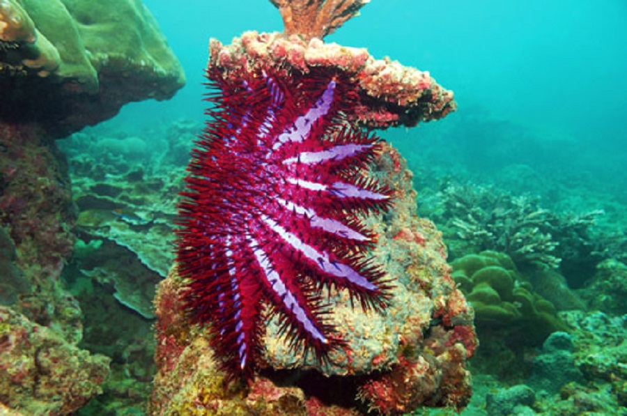 crown-of-thorns-starfish-phuket-big