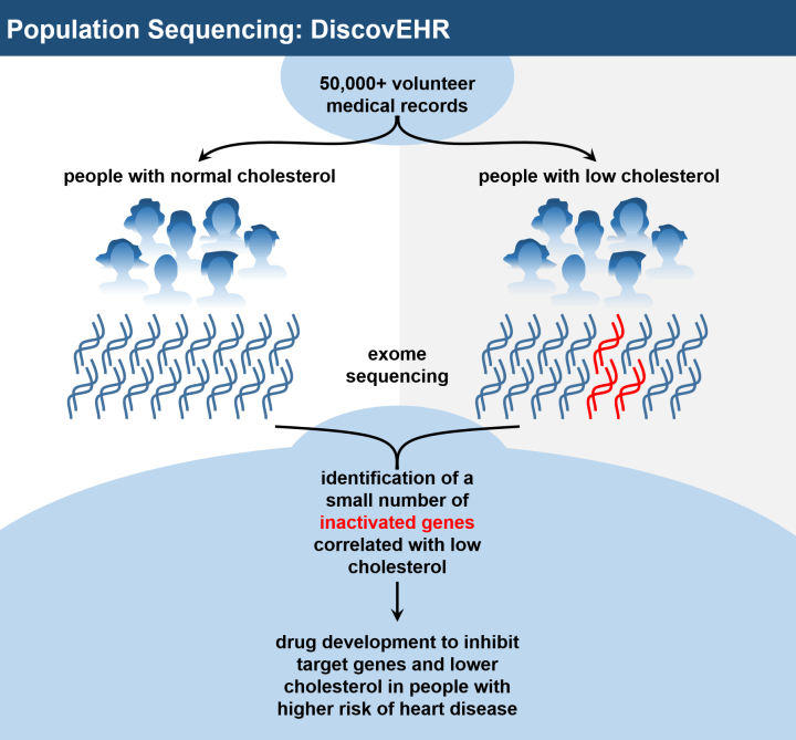 Figure 3: Combining population sequencing with health records can identify new drug targets. A recent sequencing study of over 50,000 individuals, known as DiscovEHR, demonstrated the ability for population sequencing to generate new medical knowledge that can directly inform drug development and patient treatment choices. For example, the DiscovEHR study found genes that caused individuals to have lower blood cholesterol levels when inactivated by rare mutations, resulting in a reduced risk for major heart disease.