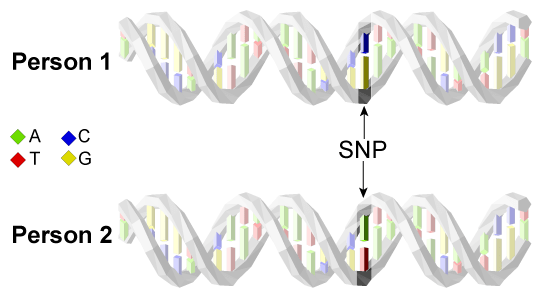 Figure 1: The same DNA region in two individuals can contain small differences. DNA forms a double helix, or twisted ladder, structure in our cells. The rungs of the ladder are comprised of a pair of nucleotides, represented here as colored blocks. Notably, the A nucleotide pairs with the T nucleotide and the C nucleotide pairs with the G nucleotide, such that each pair, or rung of the ladder, is either A-T (green-red) or C-G (blue-yellow). All together the nucleotides form a genetic code that provides instructions for each cell. There are small differences in the content of this code between two people, known as single nucleotide polymorphisms (SNPs). In this figure, person 1 has a C-G pair while person 2 has an A-T pair at the same site in DNA. This SNP is indicated by arrows and shaded in the DNA region pictured above.
