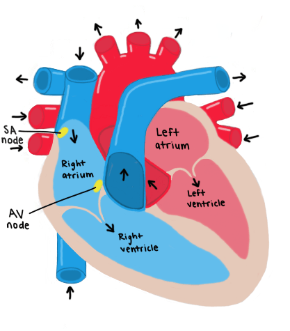 Figure 1: Schematic representation of the human heart as seen from the front. The heart consists of four chambers; two atria and two ventricles. A heartbeat begins from the SA node, which releases an electrical signal that triggers the atria to contract. This electrical impulse then reaches the AV node, which relays the signal to the ventricles, allowing them to get filled with blood and consequently contract. This series of events culminates in a single heartbeat.