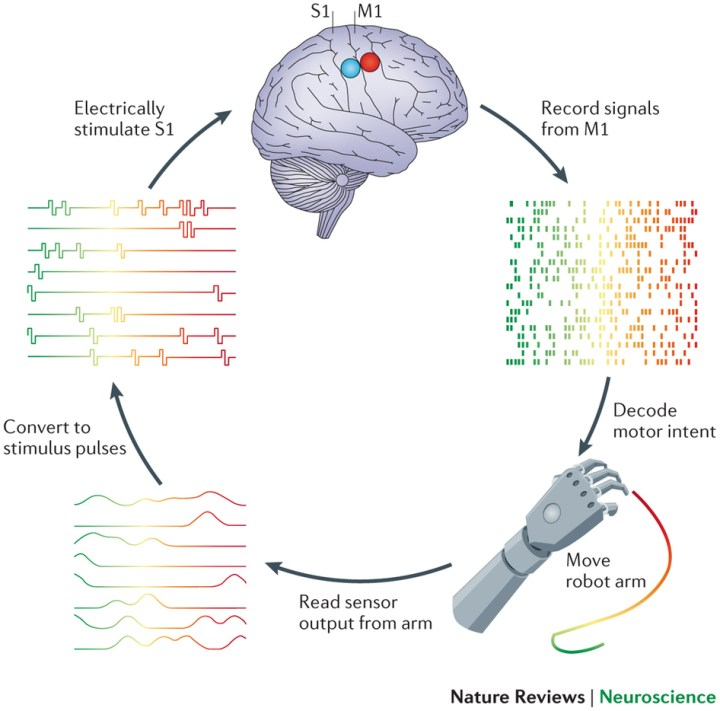 Figure 2. Brain-computer interface for prosthetic control. Using implanted electrode arrays, neural signals from areas of the brain involved in motor control, such as primary motor cortex (M1), are interpreted and used to control a prosthetic limb. Information about the movement of the limb and objects with which is interacts is converted into a pattern of electrical pulses that is sent to the sensory-related parts of the brain, like primary somatosensory cortex (S1). Reprinted by permission from Macmillan Publishers Ltd: Nature Reviews Neuroscience 15: 313-325, copyright 2014. https://www.nature.com/nrn/index.html