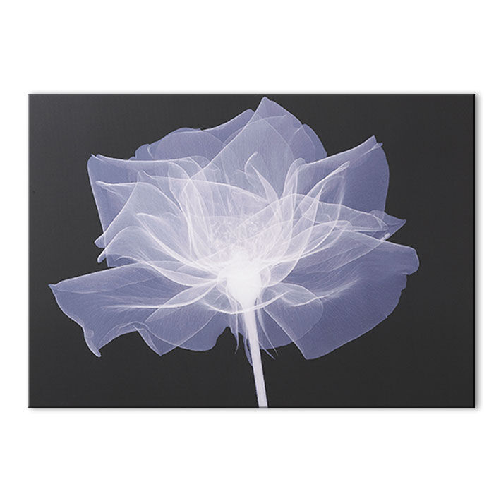 Xray Flower Prints X Ray Rose Wall Art Grahambrownus