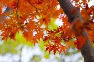 富士河口湖紅葉祭り2016のライトアップと見ごろ時期は?