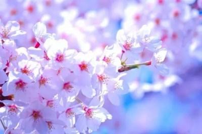 烏帽子山千本桜2016開花状況と見頃時期!