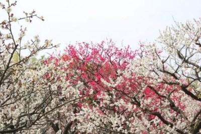 水戸偕楽園の梅まつり2016の見頃の時期や開花状況は?