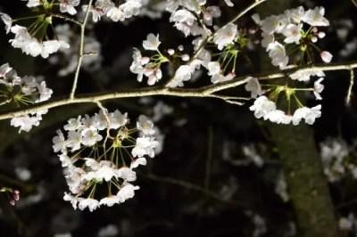 大阪の夜桜ライトアップの名所や穴場スポット10選!
