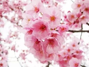 海津大崎の桜2016の開花予想や状況と見頃時期!
