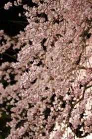 六義園の桜2016の見頃や開花状況とライトアップ!