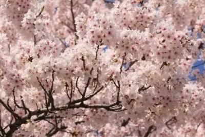 円山公園の桜・花見2016開花情報と夜桜ライトアップ!