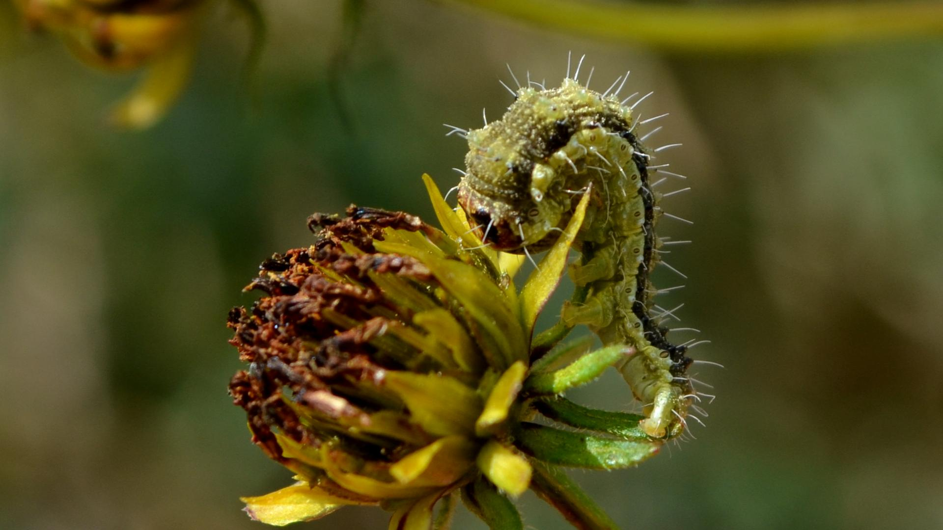 helicoverpa caterpillar
