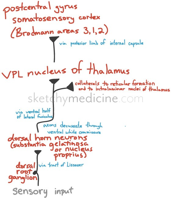 Lateral Spinothalamic Pathway Sketchy Medicine