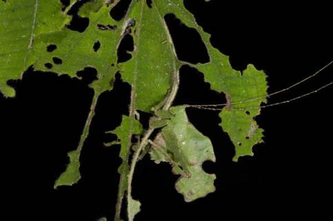 The katydid insect looks like a leaf.