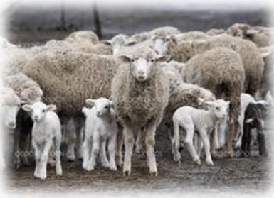 Sheep-Snoring