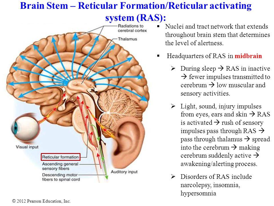 Human Anatomy Diagram Labeled Brain For Sleep - Wiring Diagram ...