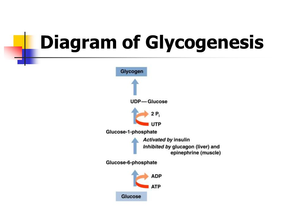 Glycogenolysis Pathway Steps wwwpixshark - Images