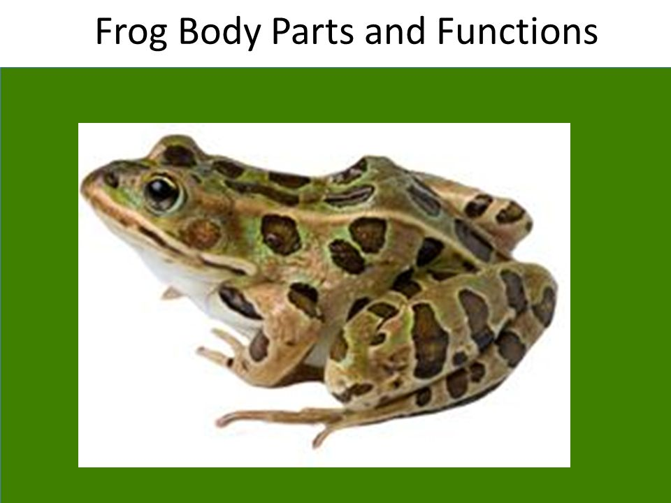 Frog Body Parts and Functions - ppt video online download - frog body