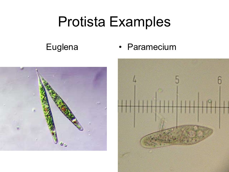Domains, Kingdoms, and Phyla - ppt video online download - protista examples
