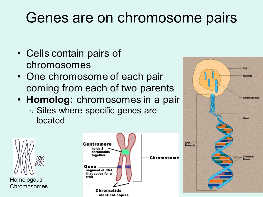 Chromosome Homologue Genes Are On Chromosome Pairs Ppt Video Online Download