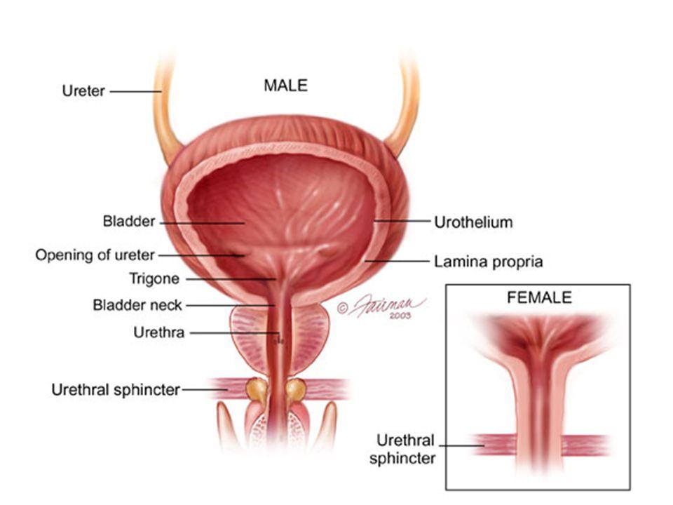 ureter diagram male