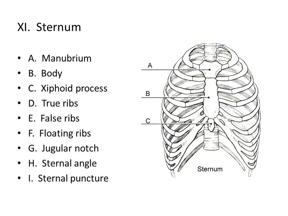 true ribs diagram