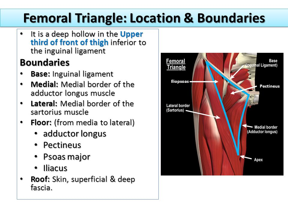 Fantastic Femoral Triangle Anatomy Photo - Anatomy And Physiology - femoral triangle
