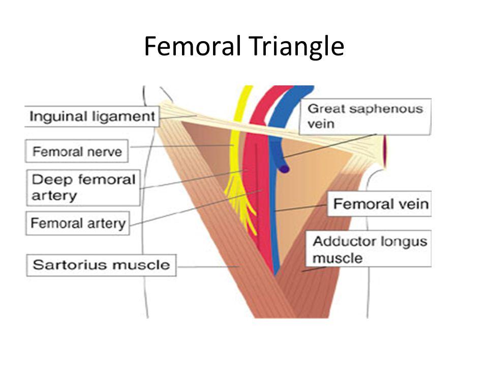 The Femoral Triangle - Nabil Ebraheimprint anatomy block iii - femoral triangle