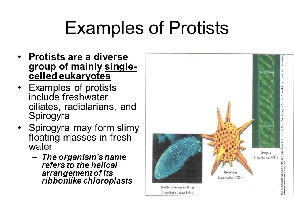 Examples Of Protista Gallery - example cover letter for resume - protista examples