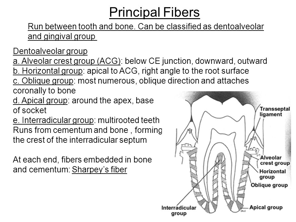interradicular bone - Towerssconstruction