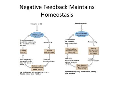Homeostasis and the Organization of the Animal Body - ppt download
