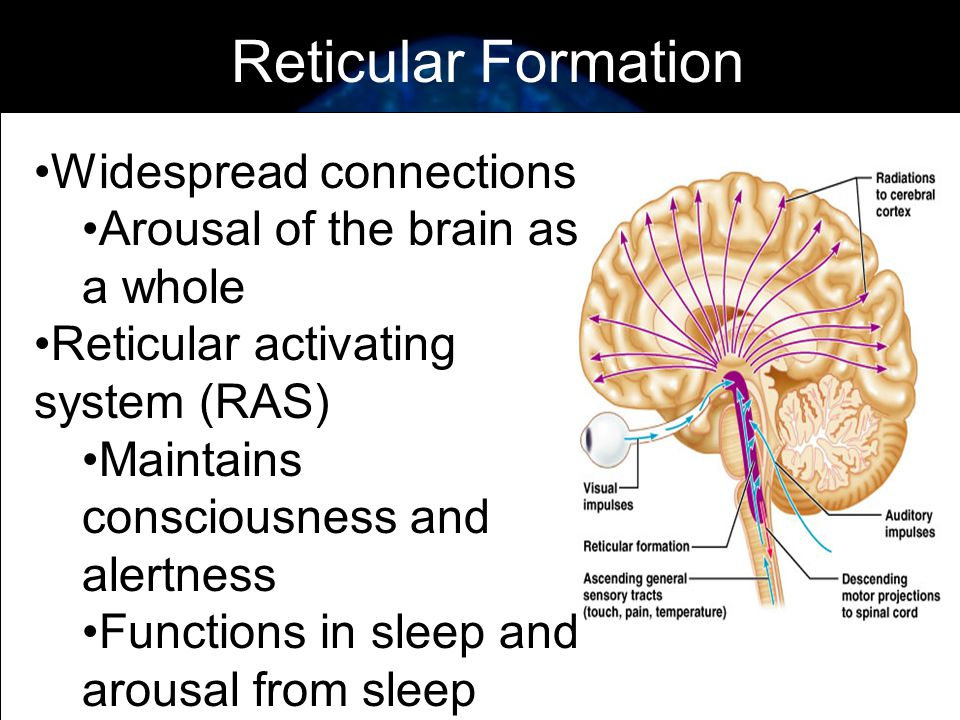 Reticular Formation Function | kicksneakers.co