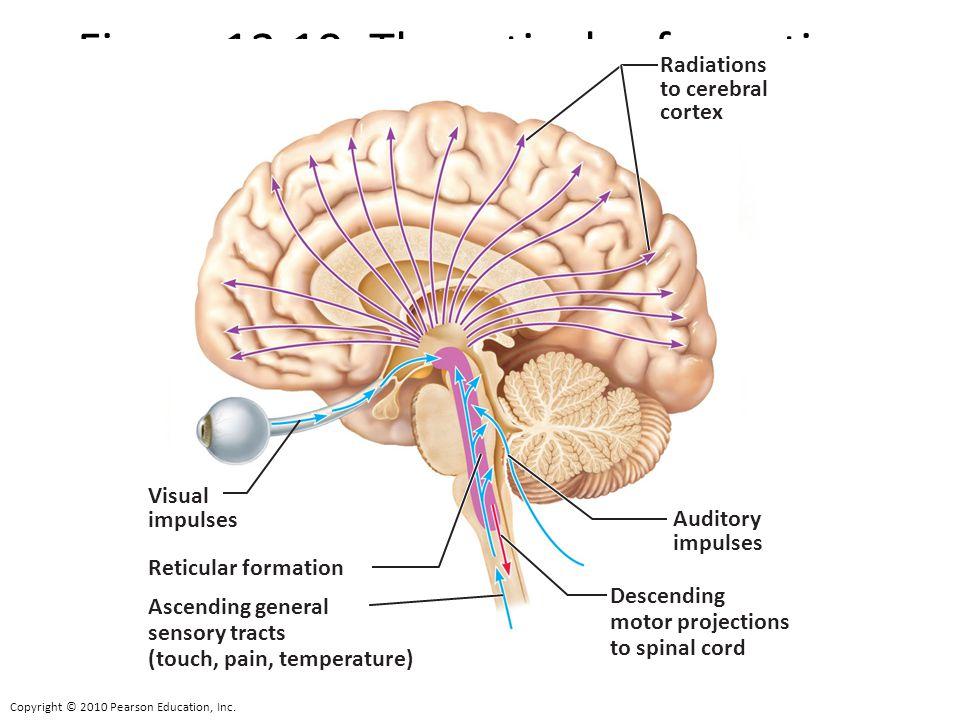Atemberaubend Reticularformation Anatomie Bilder - Menschliche