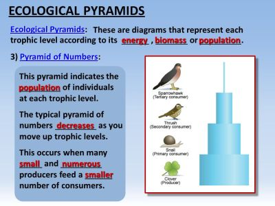 FOOD CHAINS TROPHIC LEVELS ECOLOGICAL PYRAMIDS. - ppt video online download