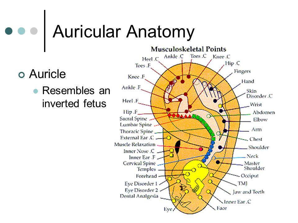 Auricular Acupuncture Anatomy \u2013 Best Cars 2018