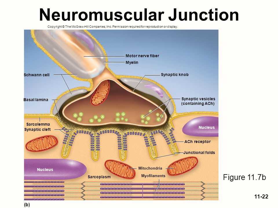 Exocytosis and the neuromuscular junction Term paper Service - neuromuscular junction