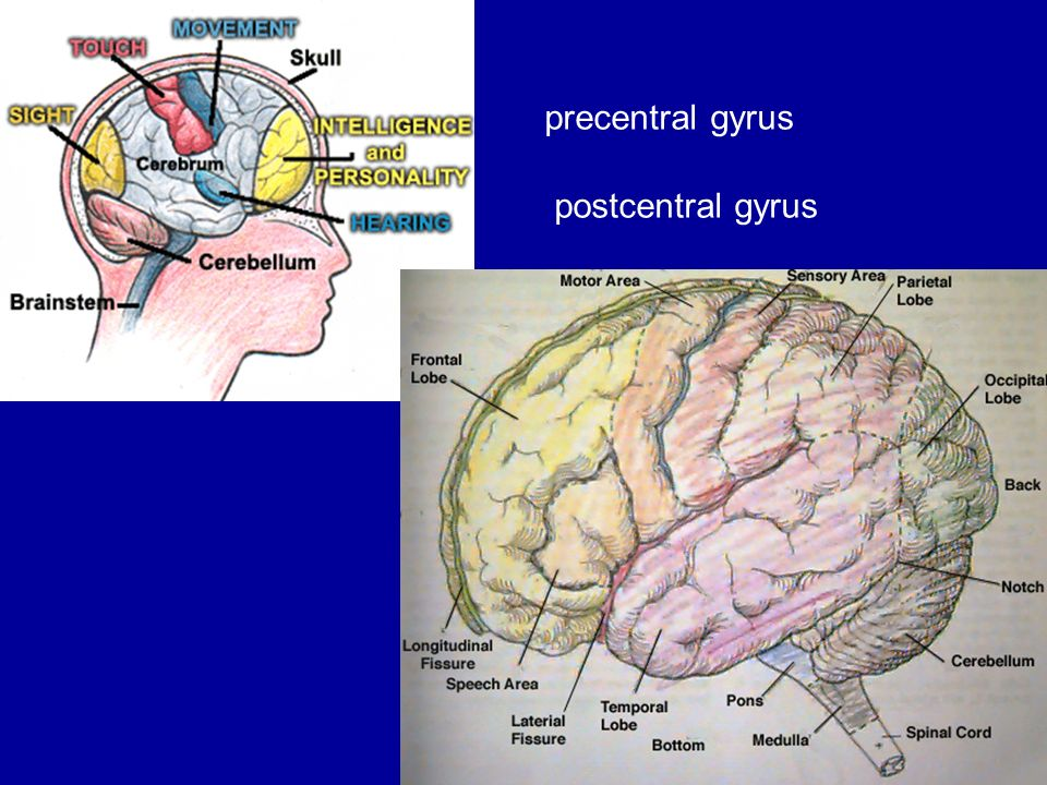 Figure 3 Superior View Of Precentral Gyrusfigure 3