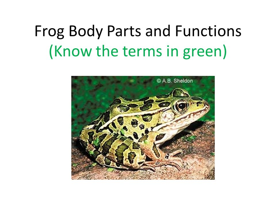 Frog Body Parts and Functions (Know the terms in green) - ppt video - frog body