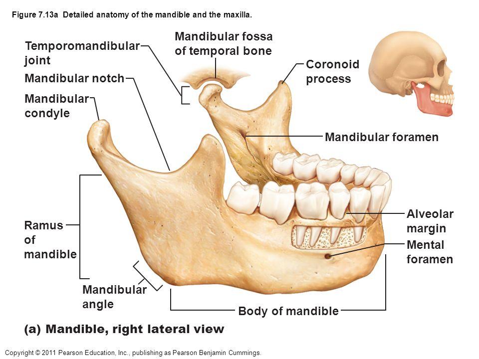 Mandible Anatomy Cvfreeo