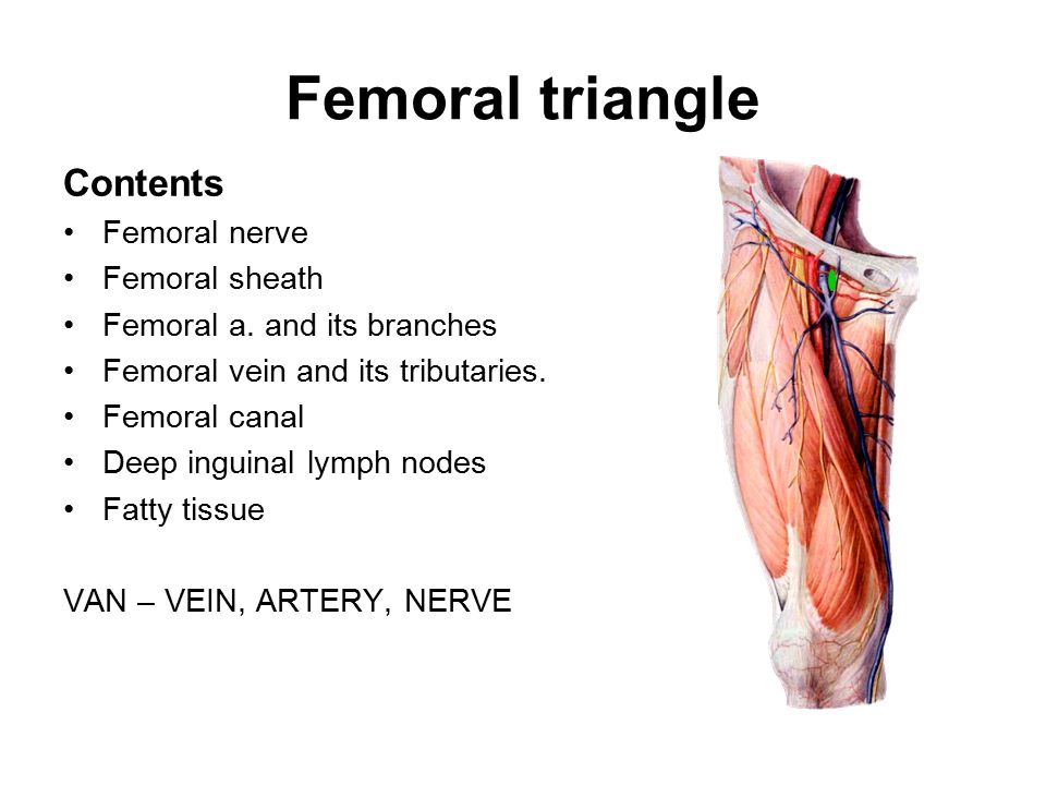 LOWER LIMB Anterior Compartment of the Thighs  Femoral Triangle - femoral triangle
