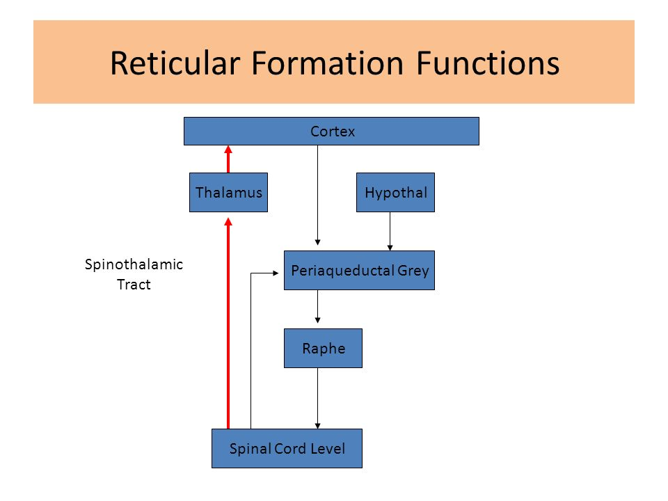 Function of reticular formation Coursework Service zphomeworkvqgu