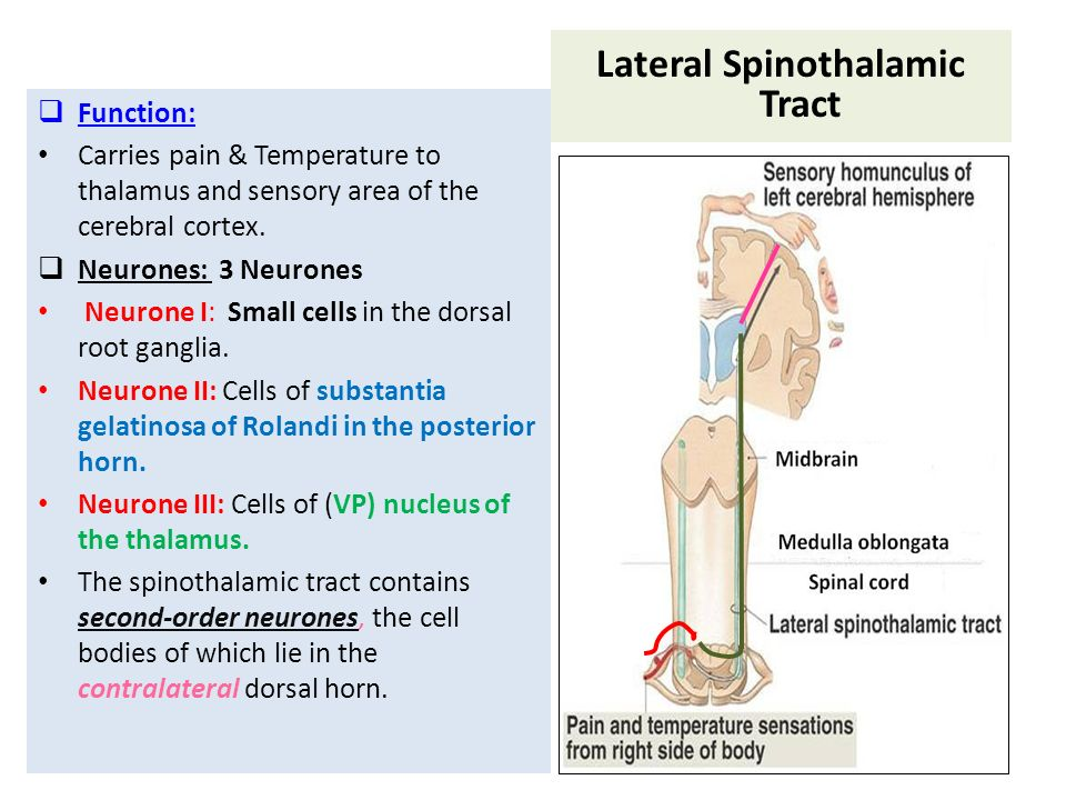 SENSORY (ASCENDING) SPINAL TRACTS - ppt video online download - spinothalamic tract