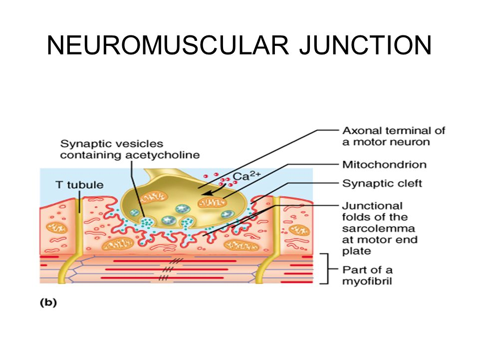 Neuromuscular juntion and exocytosis how Term paper Service - neuromuscular junction