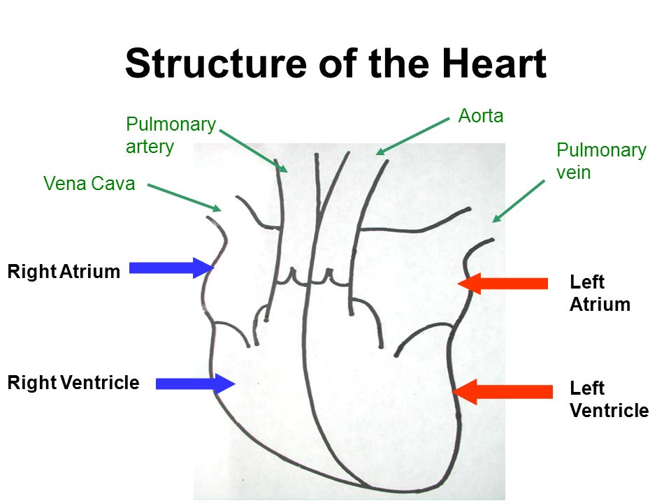 pulmonary vein body diagram