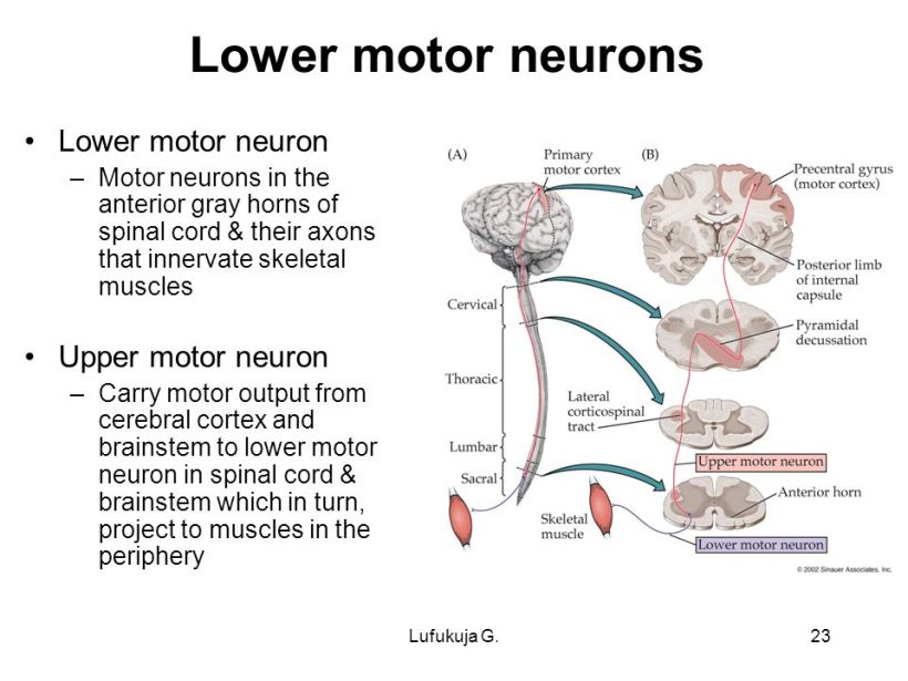 Outstanding Upper Motor Neuron Anatomy Photo Anatomy Ideas