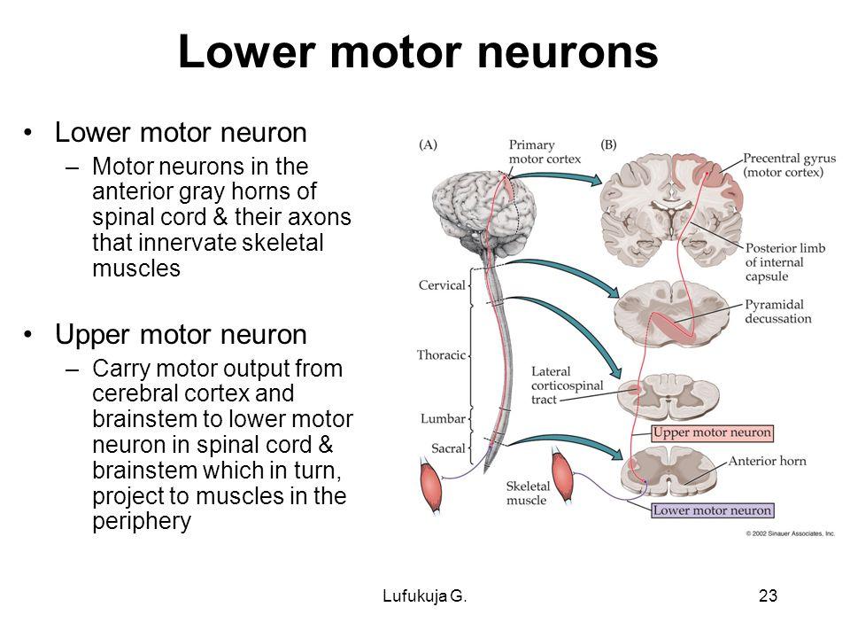 upper motor neuron definition | Caferacersjpg.com
