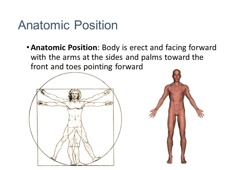 Anatomical Position and Body Cavities - ppt video online download - anatomical position