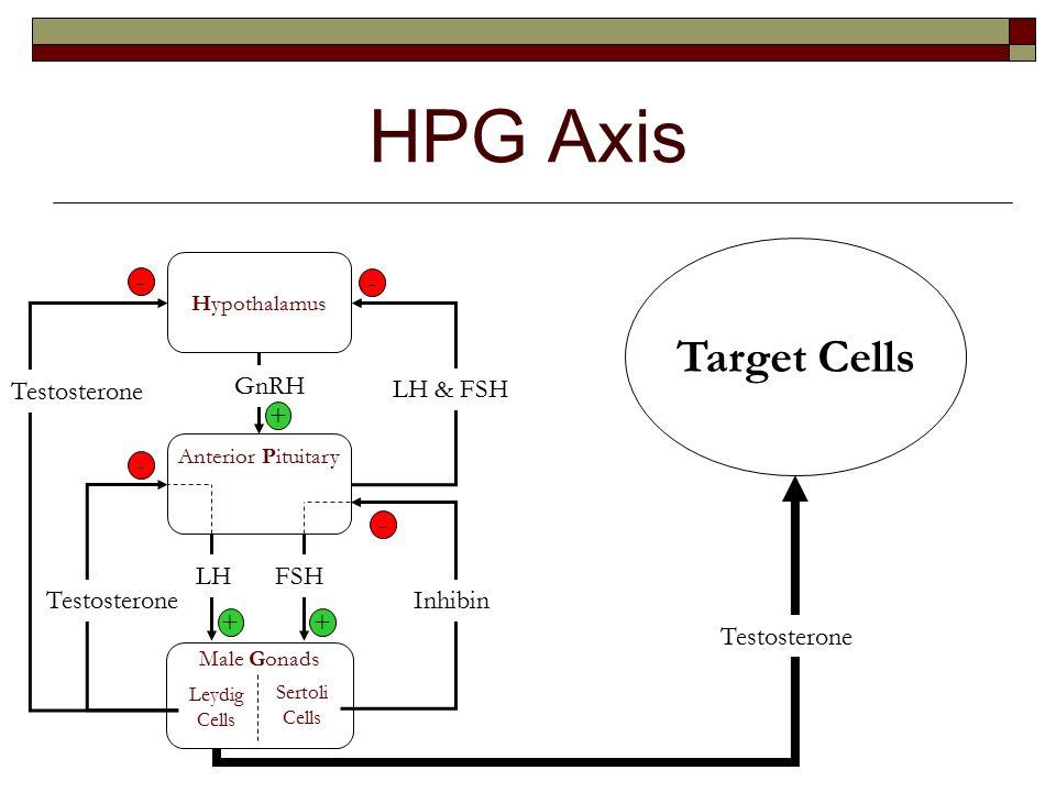 HPG Axis Target Cells - - Testosterone GnRH LH  FSH LH FSH - ppt